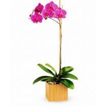 Orhidee phalaenopsis violet - Royal Orchid Roflora