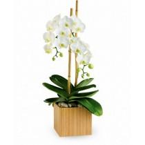 Orhidee phalaenopsis alba - Serene Plant Roflora