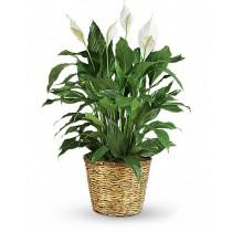 Cos cu spathiphyllum - White Garden Roflora